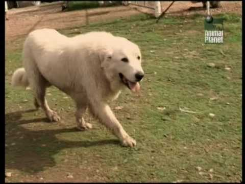 Всё о породе. Пиренейская овчарка. Горная пиренейская собака.
