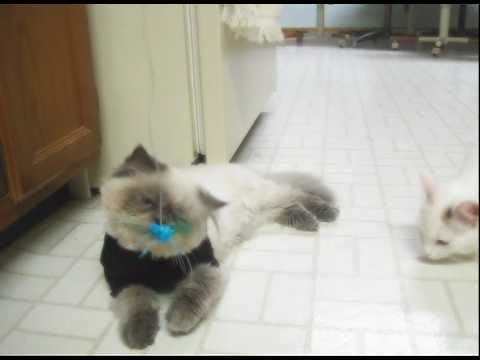 A Very Energetic Playtime (Teacup Himalayan Cat and Turkish Van)