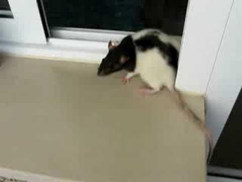 Voici comment un rat peut acc der votre wc via les g - Comment attraper un rat ...