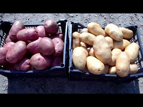 Вопрос: Какие есть холодостойкие сорта картофеля?