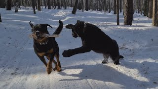 Panther & Rottweiler. Funny moments from the walk