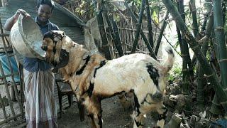 Goat farm / উন্নত জাতের ছাগল কোথায় পাবেন ও জাত সম্পর্কে বিস্তারিত জেনে নিন / BD Life Trailer