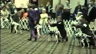 2005 Dalmatian Club Of America Futurity