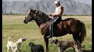 """Кыргызская порода собак """"Тайган"""""""