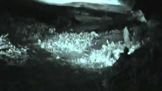 Rare Allegheny Woodrat Footage