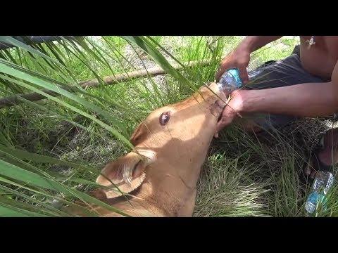 AMAZING Calf Rescue