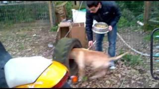 Evolution Tyler 06 American Pit Bull Terrier