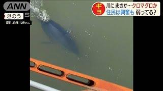 ギョギョギョ!川にクロマグロが出現 一体何が?(19/09/05)