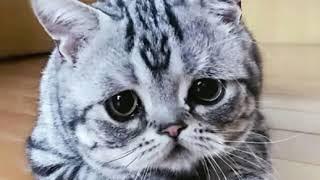 Луху, самая грустная порода кошки в мире.