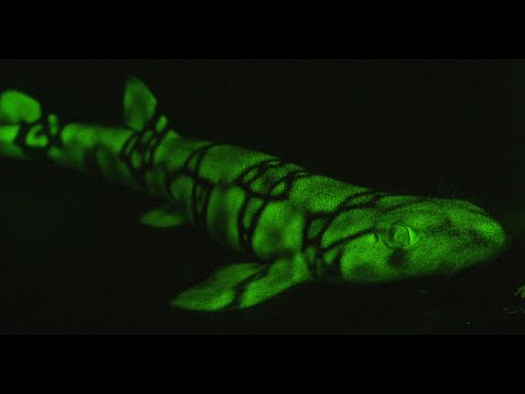 Mysteries of the deep: how some sharks glow green in the dark | AFP