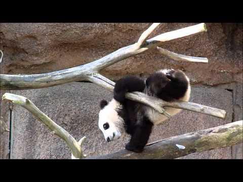 Xiao Liwu Enjoying Panda Snow Day