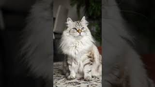 10 OLDEST CAT BREEDS IN EXISTENCE (So Cute)