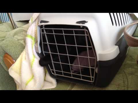 Тоша ненавидит переноску / Tosha Cat