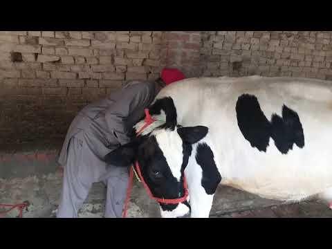 Safed Rang ki cow farm se ayi hai.. (sale) 07009492709👍👍👍