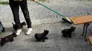 Cairn-terrier Welpen 9 Wochen Alt