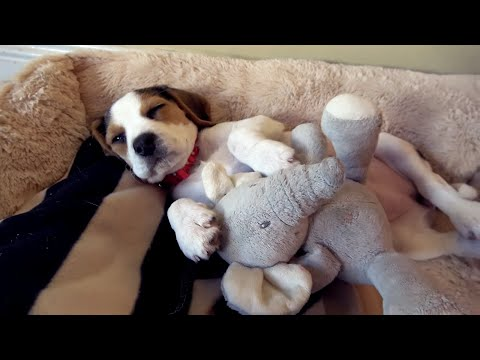Beagle Puppy falling Asleep Compilation | Charlie the Dog