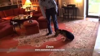 Beagle-companion Dog Course  - Eastwind Training (in Egypt)