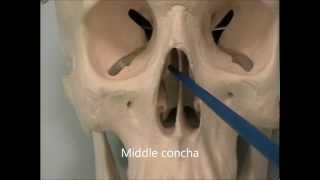 Osteology of the Skull: 7 The Face