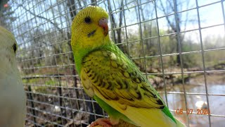 Budgies/Parakeets From Hatchlings To Fledglings(Givenchy And Jacq(Волнистых попугаев)