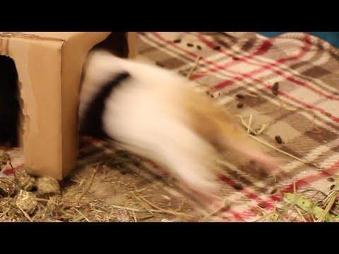 Ridiculous Guinea Pig Fight 2