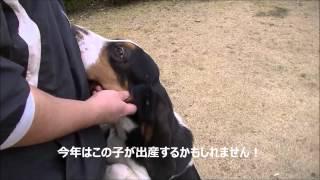バセットハウンドの子犬情報はこちらから http://bassethound.asia/ ブ...