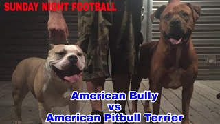 Sunday Night Football AMERICAN BULLY vs American Pitbull Terrier