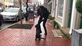 Board and Train, Bailey!  Dog Training Board and Train | Off Leash K9 Training