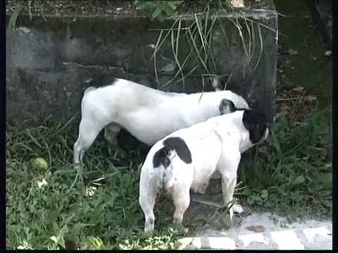 The French Bulldog - Pet Dog Documentary English