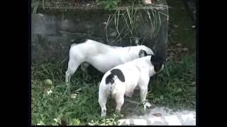 The French Bulldog  Pet Dog Documentary English