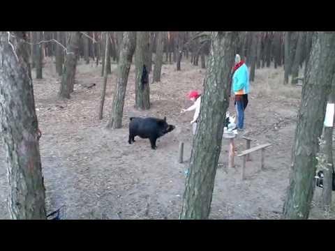 видео: Встреча в лесу с кабаном