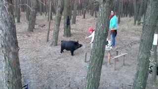 Встреча в лесу с кабаном