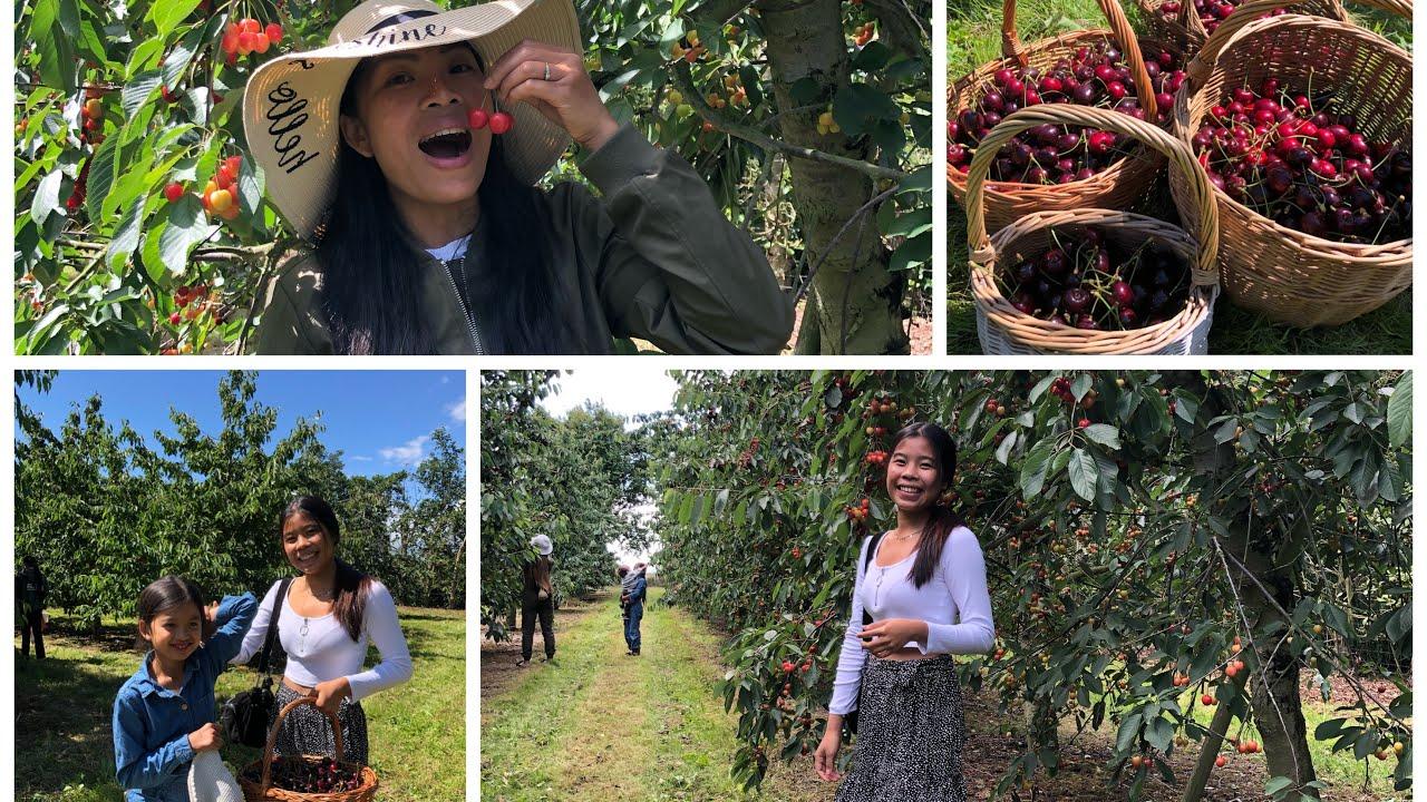 ฟินอีกแล้วเต็มไร่เลยเชอรี่จ้าดกหวานกรอบชื่นใจ🍒 picking cherries #12/7/20.