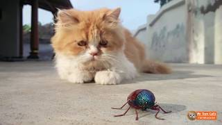 Persian Cat VS Sternocera Insect Funny Video