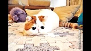 Кот экзот Снупи и не только^ω^