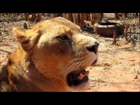Bella the Lion