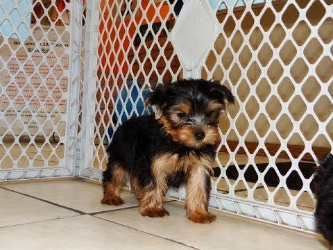 Yorkshire terrier breeders va