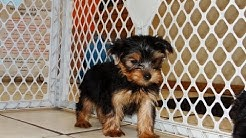 Yorkshire Terrier, Yorkie, Puppies, Dogs, For Sale, In Jacksonville, Florida, FL, 19Breeders