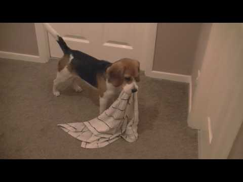 Beagle puppy carrying towel after bath time. Cute