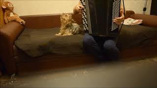 Моя поющая собака йорк Хамер