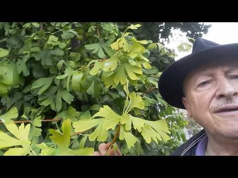 acheter arbre ginkgo biloba
