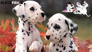 Adorable Dalmata puppies YouTube Videos