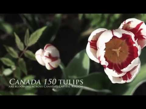 Canada 150 tulips are blooming across Canada's Capital Region