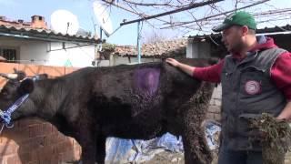 0502 Aydın'da gebe ineğin karnında çivi ararken 2 kilo halat çıktı