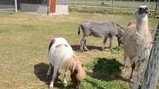 Minizoo, zoo w Kurozwękach. Zwierzęta: bizon, lama, osioł...