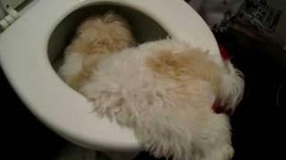 Puppy In Toilet