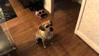 Smart Puggle (pug Beagle Mix) Uses Paw Like A Human Hand
