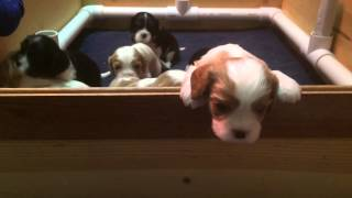 Cavalier King Charles Spaniel babies at 3 weeks 2 days