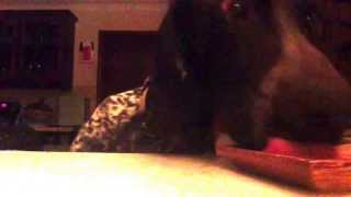 Dexter The Naughty German Short Haired Pointer