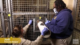 Veterinary Care for Great Apes - Voluntary Gorilla Blood Draw