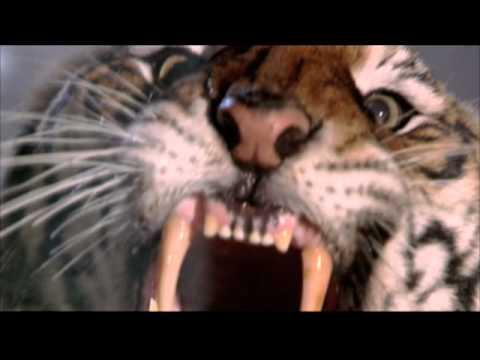 400 Lb Tiger In Harlem You